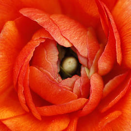 Darren Fisher - Orange Buttercup Abstract