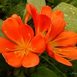 Lingfai Leung - Orange Clivia Blossoms