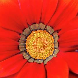 Trina Ansel - Orange Gazania with Texture