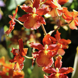 Carol Groenen - Orange Orchid