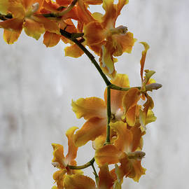 Darleen Stry - Orange orchids