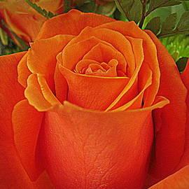 Bonita Brandt - Orange Pink Rose