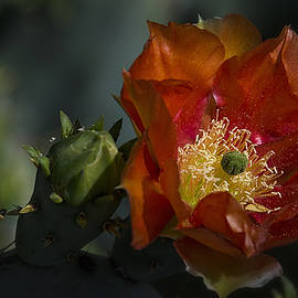 Saija  Lehtonen - Orange Prickly Pear Flower