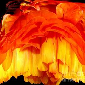 Rose Santuci-Sofranko - Orange Ranunculus Polar Coordinate