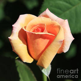 Carol Groenen - Orange Rose Bud