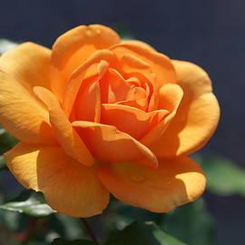 Carrie Goeringer - Orange Rose