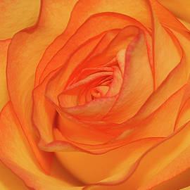 Graham Taylor - Orange Rose