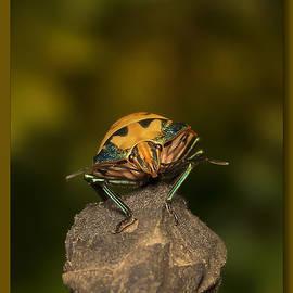 Kevin Chippindall - Orange stink bug 002