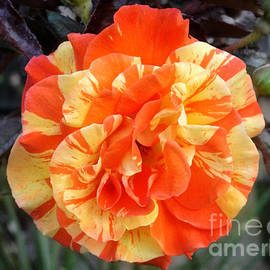 Sofia Goldberg - Orange-yellow hybrid rose 2