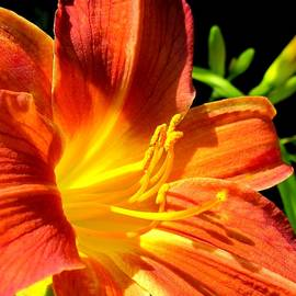 Bonita Brandt - Orange/yellow Lily