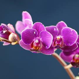 Jeff  Swan - Orchid