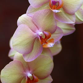 Rumyana Whitcher - Orchid Perfection