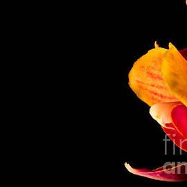 Torbjorn Swenelius - Orchid Petals
