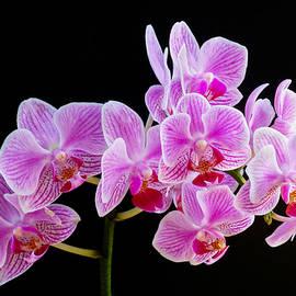 Gunther Schabestiel - Orchid Study 3