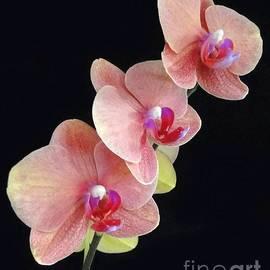 Barbie Corbett-Newmin - Orchids Reach for the Rainbow