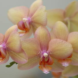 Rumyana Whitcher - Orchids