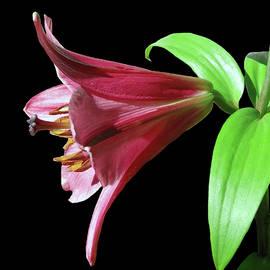 Johanna Hurmerinta - Oriental Trumpet Hybrid Lily