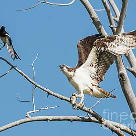 Dennis Hammer - Osprey and Black Billed Magpie