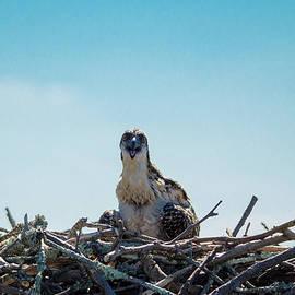 Jeff at JSJ Photography - Osprey Chick Smiles for the Camera