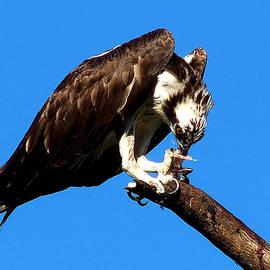 Chris Mercer - Osprey Feeding 004