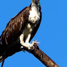 Chris Mercer - Osprey Feeding 005