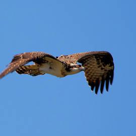 CJ Park - Osprey in Flight