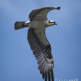 Priscilla Burgers - Osprey in Flight