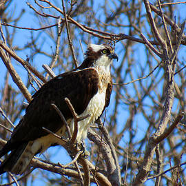 Dianne Cowen - Osprey in Spring