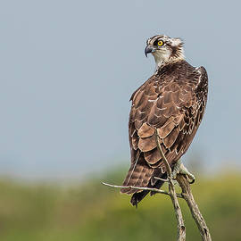 Morris Finkelstein - Osprey on a Thin Branch