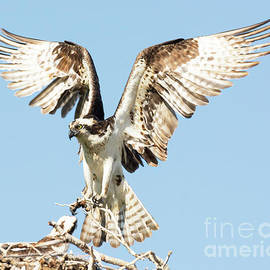 Dennis Hammer - Osprey with Nesting Material