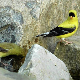 Nancy Spirakus - Out for a Drink Goldfinch Pair