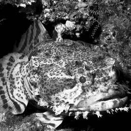 Joe Quinn - Oyster Toadfish BW