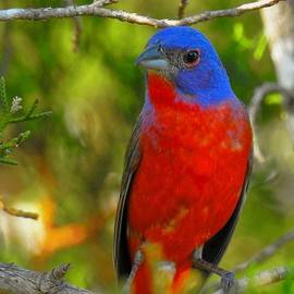 Dennis Nelson - Painted Bunting 2