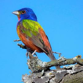 Dennis Nelson - Painted Bunting