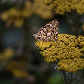 Calazones Flics - Painted Lady- 2