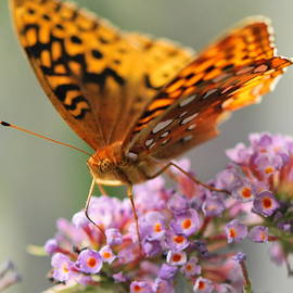 Mish DiGuardi - Painted Lady Butterfly
