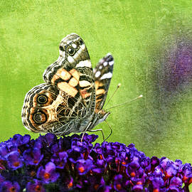 Geraldine Scull - Painted lady butterfly on butterfly bush
