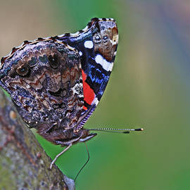 Gary Wing - Painted Lady