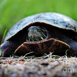 Karen Adams - Painted Turtle