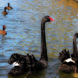 Miroslava Jurcik - Pair Of Black Swans