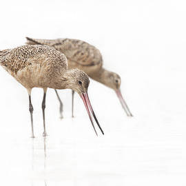 Ruth Jolly - Pair of Marbled Godwits