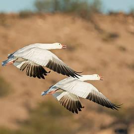 Loree Johnson - Pair of Snow Geese in Flight