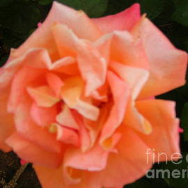 Jane Gatward - Pale Apricot Rose Bloom