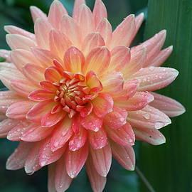 Carrie Goeringer - Pale Pink Dahlia