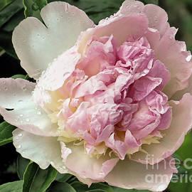 Janice Drew - Pale Pink Peony