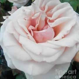 Hammel - Pale Pink Rose in Bloom