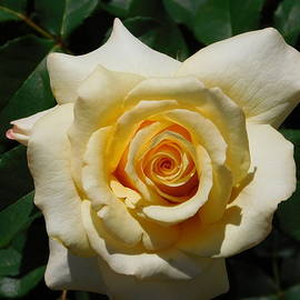 Catherine Gagne - Pale Yellow Rose