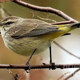 Diann Fisher - Palm Warbler Songbird