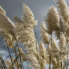 David Hare - Pampas Grass