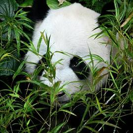 Imran Ahmed - Panda bear lies among foliage eating bamboo shoots